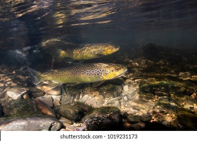 Underwater photography of brown trout (Salmo trutta) preparing for spawning in small creek. Beautiful salmonid fish in close up photo. Underwater photography in wild nature.