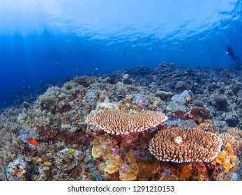 Underwater photography of coral reef at Apo Reef, Philipines.