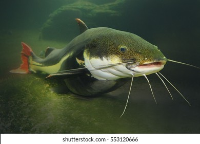 Underwater photography of The Red Tail Catfish (Phractocephalus hemiliopterus). This tropical fish is native to the Amazon, Orinoco, and Essequibo river basins of South America.