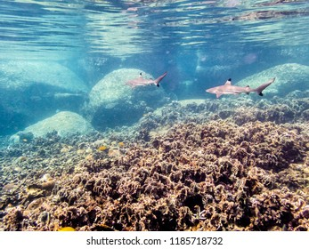 Underwater photos group of Blacktip Reef Shark or Carcharhinus Melanopterus is a sea fish with a black tips on its fins swimming above the coral reef at Ko Tao island in Thailand