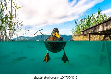 A underwater Picture of a Duck and with some Fishes in a lake in Austria