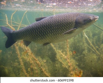 Underwater picture of Grass carp (Ctenopharyngodon idella). Wild life animal. Grass carp in beautifull nature habitat. Live in the river.