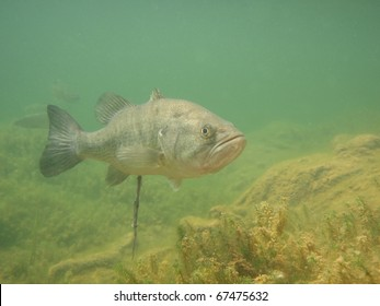 Underwater picture of a Largemouth Bass (Micropterus salmoides)
