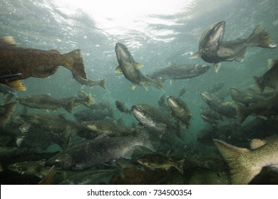 Underwater picture of many salmon swimming in the river during the spawning season. Taken near Chilliwack, East of Vancouver, British Columbia, Canada.