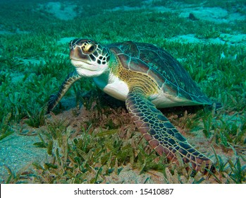 Underwater Picture of the Turtle, Red sea