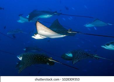 Underwater portrait of eagle ray manta in Maldives