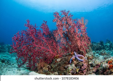 Underwater red Gorgonion coral with blue clear sky background