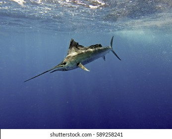 sailfish images stock photos vectors shutterstock