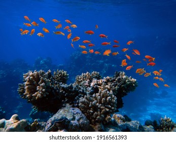Underwater Scene With Coral Reef And Exotic Fishes. Red Sea