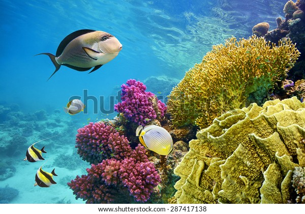 Underwater scene with coral reef and fish photographed in shallow water, Red Sea, Marsa Alam, Egypt