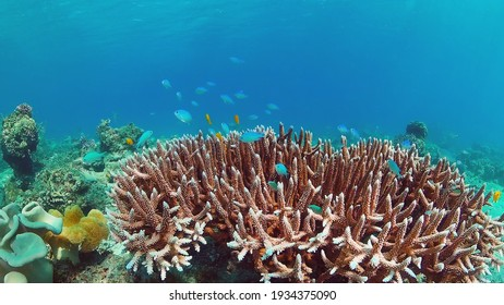 Underwater Scene Coral Reef. Tropical underwater sea fishes. Panglao, Bohol, Philippines.