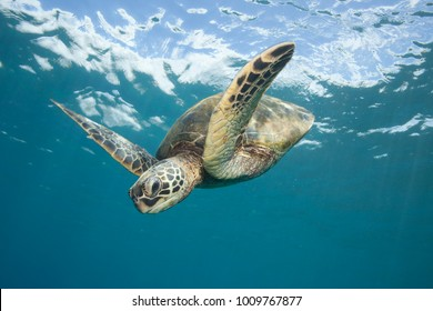 Underwater scene of a Green Sea Turtle, Chelonia mydas, flying through the glassy calm blue ocean down from the surface with clouds beyond.