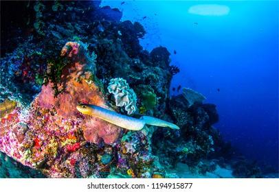 Underwater sea snake landscape. Sea snake underwater scene. Underwater sea snake swim view. Underwater world scene