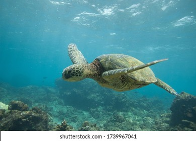 Underwater Sea Turtle Swimming over a Rocky Coral Reef in Hawaii in clear blue water