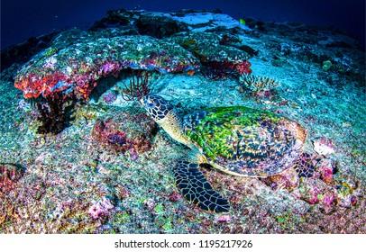 Underwater sea turtle view. Sea turtle undrwater scene. Underwater sea turtle landscape. Sea turtle underwater