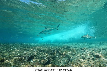 Underwater sea wave breaking on the fore reef with two blacktip reef sharks, Pacific ocean, Huahine, Society islands, French Polynesia