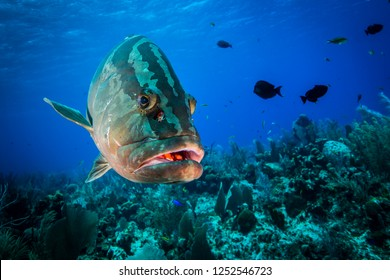Underwater seascape and Nassau Grouper at Little Cayman in the Caribbean