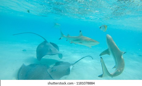UNDERWATER: Sharks and stingrays muddle up the turquoise ocean with white sand. Spectacular underwater view of playful aquatic wildlife near tropical island. Sea rays and blacktip sharks cohabitating