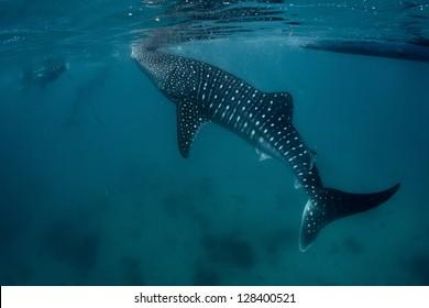 Underwater shoot of a gigantic whale shark ( Rhincodon typus) feeding near surface