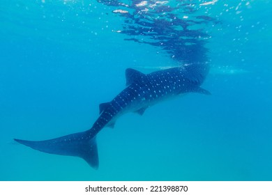 Underwater shoot of a gigantic whale sharks ( Rhincodon typus) feeding plankton on the surface of the water. These sharks have no teeth and are filter feeders.
