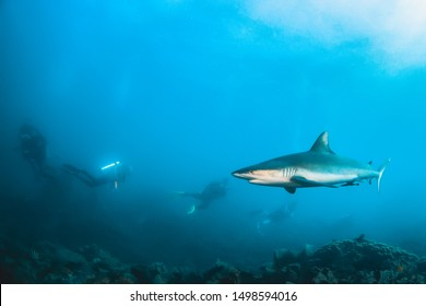 Underwater shot of beautiful reef shark swimming peacefully among pristine coral reef. Scuba divers observing and swimming by in the background