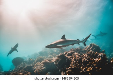 Underwater shot of beautiful reef sharks swimming peacefully among pristine coral reef