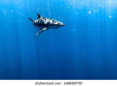 Underwater shot of a blue shark in crystal clear waters