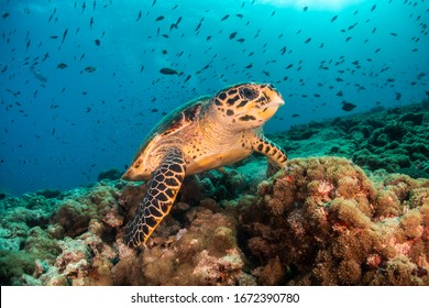 Underwater shot of a hawksbill turtle among beautiful coral reef and tropical fish