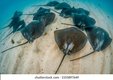 Underwater shot of schooling stingrays swimming on the sandy ocean floor