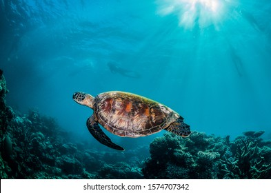 Underwater shot of a sea turtle swimming in the wild among beautiful coral reef