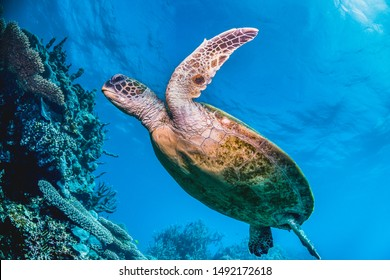 Underwater shot of a sea turtle in the wild among colourful coral reef