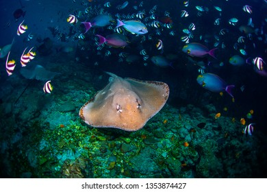 Underwater shot of the stingray gliding over the rocky bottom among the school of fish