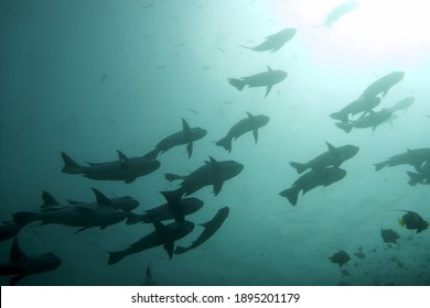 Underwater silhouette view of a school of bumphead parrotfish swimming above
