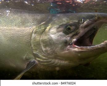 Underwater silver salmon