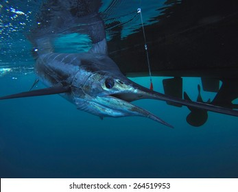 UNDERWATER STRIPED MARLIN AT THE KING BANK NEW ZEALAND