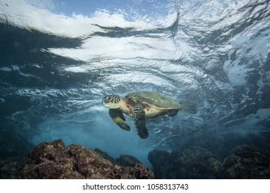 Underwater swimming green sea turtle close to camera