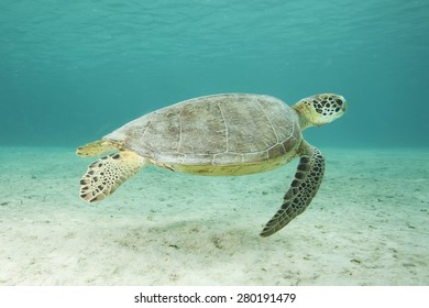 Underwater tropical sea turtle swimming above sand