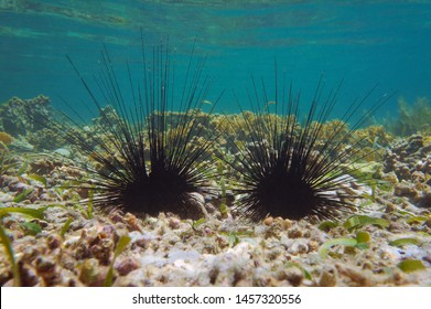 Underwater two long spined sea urchins, Diadema antillarum, on the seabed in the Caribbean sea