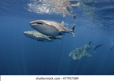 Underwater view of 3  Whale sharks swimming near the surface in Cenderawasih Bay, West Papua, Indonesia.