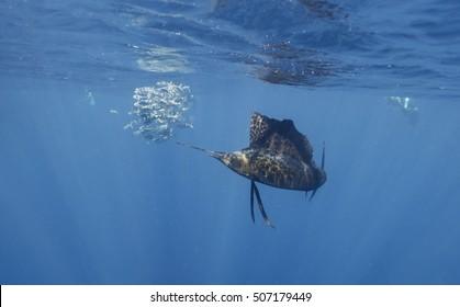 Underwater view of Atlantic sailfish hunting sardines near Isla Mujeres Cancun Mexico.