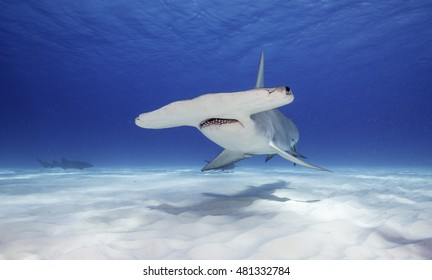 Underwater view of a great hammerhead shark swimming in clear blue water along a white sandy bottom, Bimini, The Bahamas.