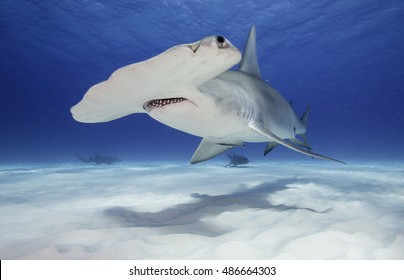 Underwater view of a great hammerhead shark swimming near the sandy bottom in clear blue water, Bimini, The Bahamas.