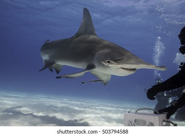 Underwater view of a great hammerhead shark at Bimini, Bahamas.