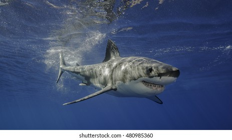 Underwater view of a great white shark swimming near the surface.  Guadalupe Island Mexico.