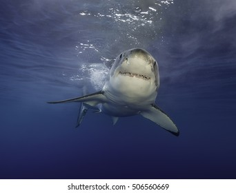 Underwater view of a great white shark during a cage diving trip at Guadalupe Island mexico.