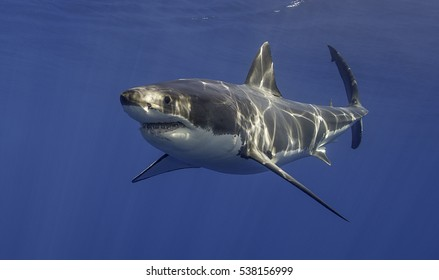 Underwater view of a great white shark, carcharodon carcharias, in blue water at Guadalupe Island, Mexico.