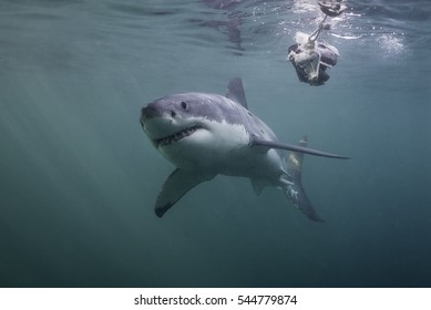 Underwater view of a great white shark swimming near the surface during a cage diving trip in False Bay, Cape Town South Africa.