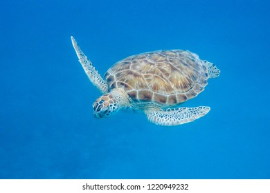Underwater view of Green Turtle (Chelonia mydas) swimming in blue sea in Barbados
