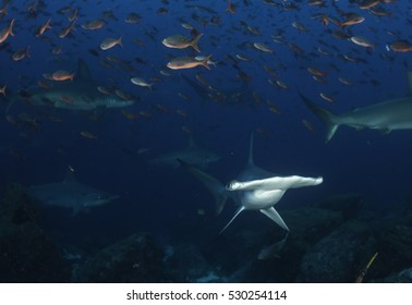 Underwater view of scalloped hammerhead sharks swimming in the waters off Darwin Island, Galapagos Islands, Ecuador.
