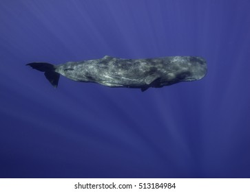 Underwater view of a sperm whale swimming, Indian Ocean, off the east coast of Africa.